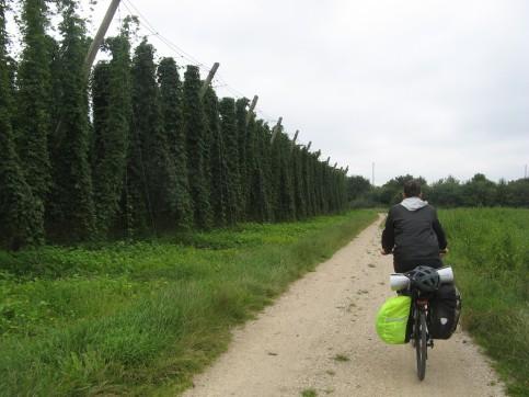 Entre las plantaciones de lúpulo