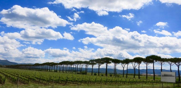 Paisaje de viñedo con pinos