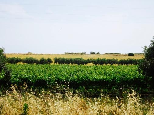 Cereal, vid y olivo, la trilogía mediterránea